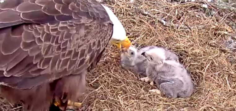 Re: Live Eagle Cam